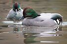 Falcated Teal swimming on the pond by Sara Sadler