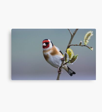 Goldfinch on Pussy Willow Canvas Print