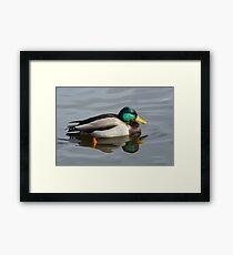 Mallard Duck Drake Framed Print