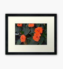 Orange flowers and green leaves bush. Framed Print