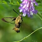 Clearwing Moth by Kate Farkas