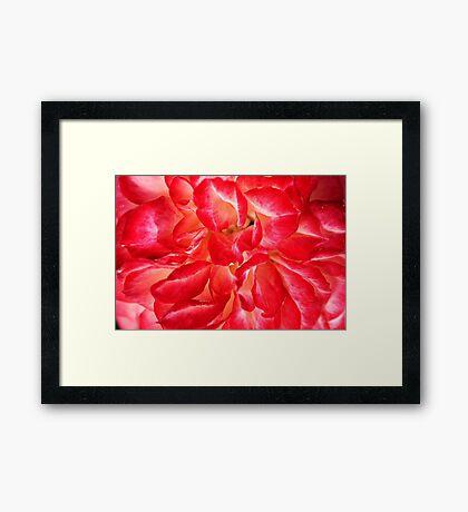 Petals Of Rose Framed Print