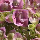 Hydrangea by Joy Watson