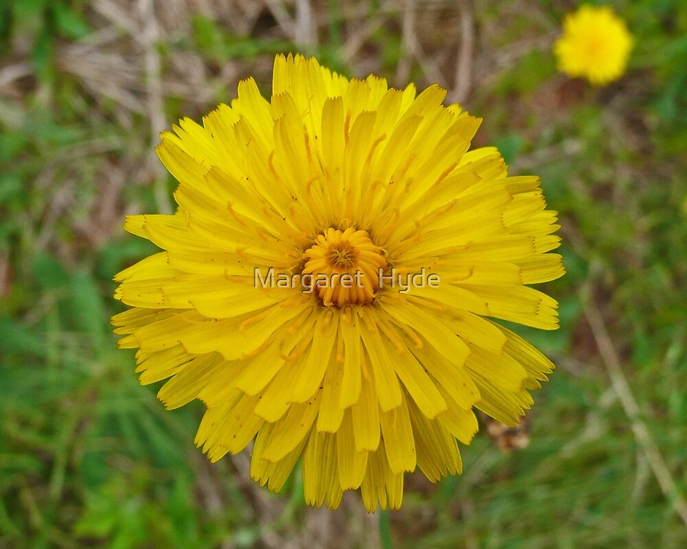 Taraxacum Officinale by Margaret  Hyde