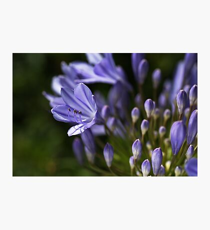 Agapanthus Dreaming Photographic Print