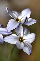Star White with shades by Joy Watson