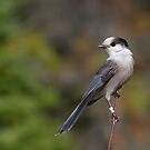 Gray Jay in Algonquin Park by Jim Cumming