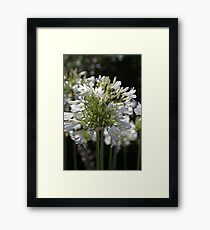 White Bright Agapanthus Framed Print