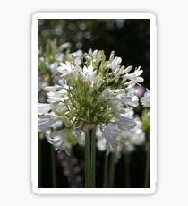 White Bright Agapanthus Sticker