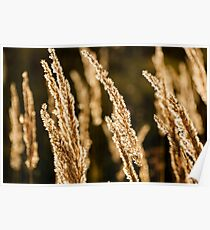 Grass spikelet on the field at sunset Poster