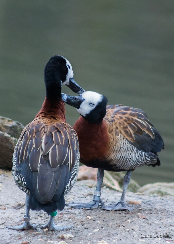 Two White faced Whistling ducks. by Sara Sadler