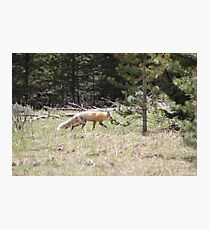 Out foxxed Photographic Print