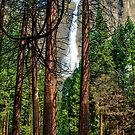 Yosemite Falls appearing through the redwoods by Doug Graybeal
