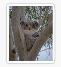Koala, Flinders Chase N.P., Kangaroo Island, Sth Australia Sticker