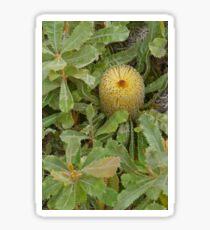 Golden Banksia, Kangaroo Island, South Australia Sticker