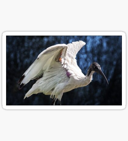 australian white ibis (detail) Sticker