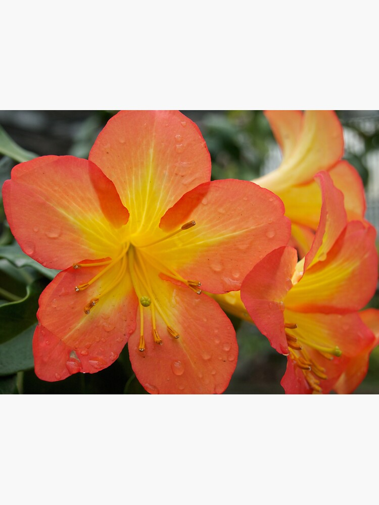 Rhododendron Splendor with Raindrops from A Gardener's Notebook by douglasewelch