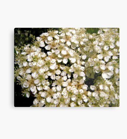 Hawthorne flowers Metal Print