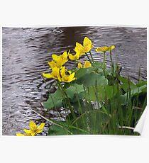 Marsh Marigolds Poster