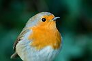 Close up of a Robin by Sara Sadler