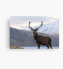 Red Deer Stag in Highland Scotland Canvas Print