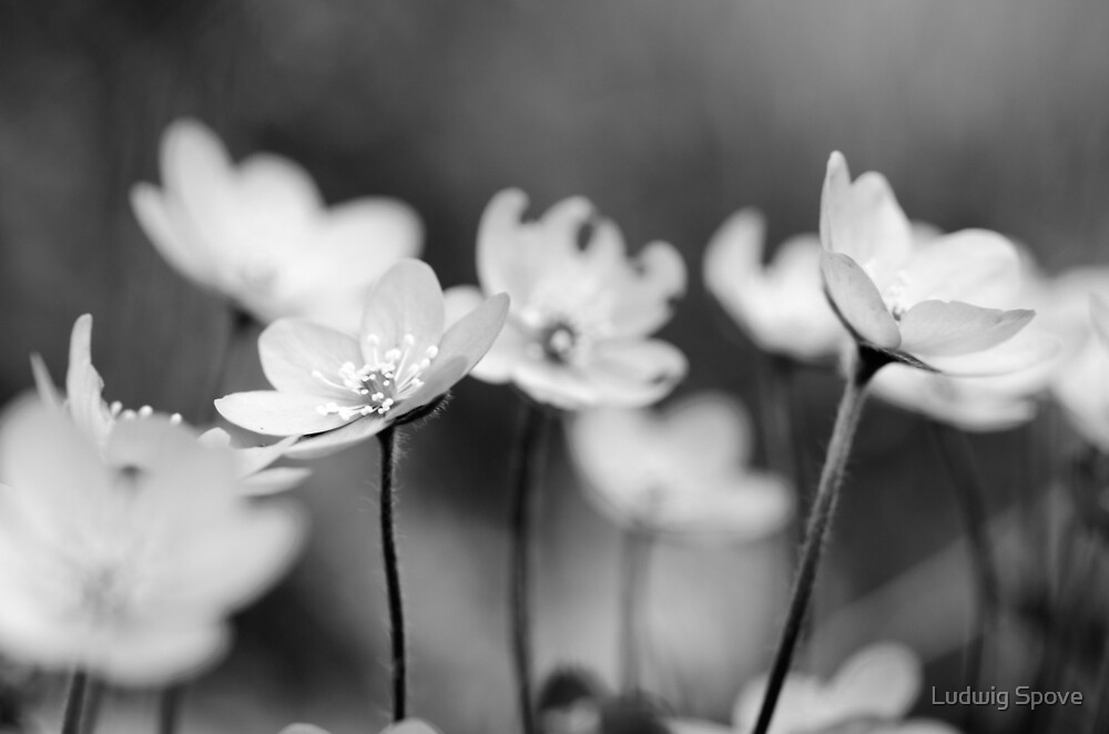 Anemone hepatica II - BW by Ludwig Spove