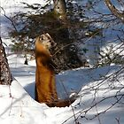 Marten ..I See You Sneaking Up ... by MaeBelle
