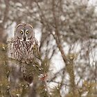 Great Grey Owl in a snow storm by Josef Pittner