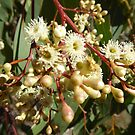 Dainty Gum flowers & Capsules! Jenkins Scrub Reserve. S.A. by Rita Blom