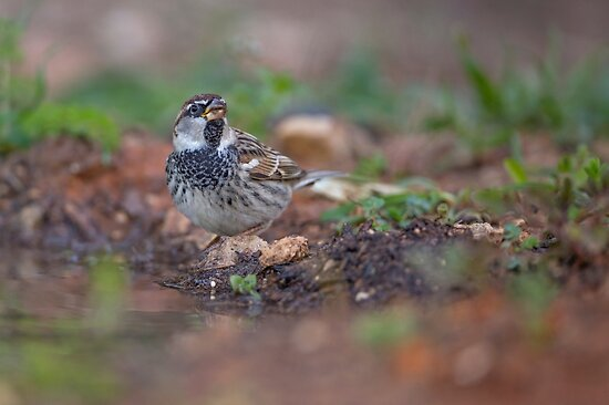 Spanish sparrow or willow sparrow (Passer hispaniolensis)  by PhotoStock-Isra