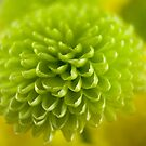 Green dahlia by Sandra O'Connor