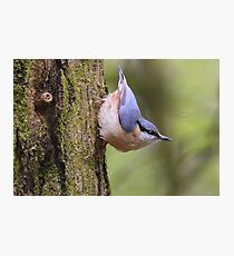 """"""" Playful Nuthatch """" Photographic Print"""
