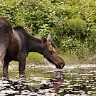 Moose in pond - Algonquin Park by Jim Cumming