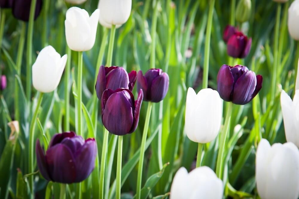 Tulips in A Field 1 by W. Lotus