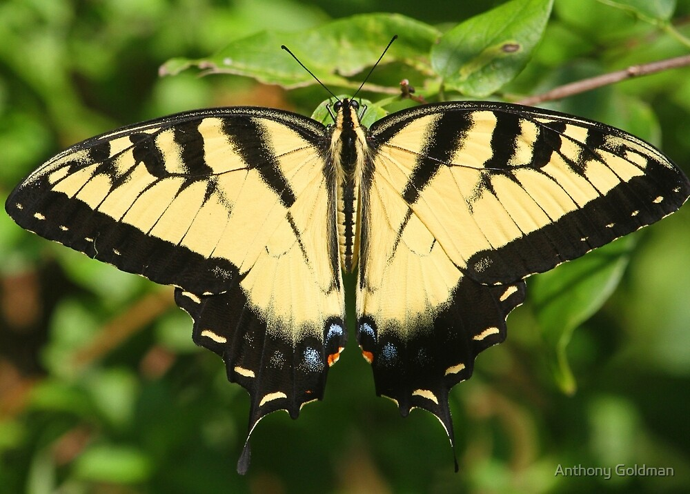 A tiger swallowtail butterfly by Anthony Goldman