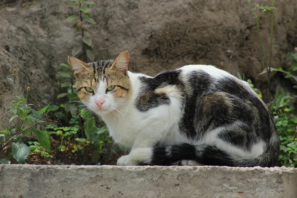Cat on a Wall by rhamm