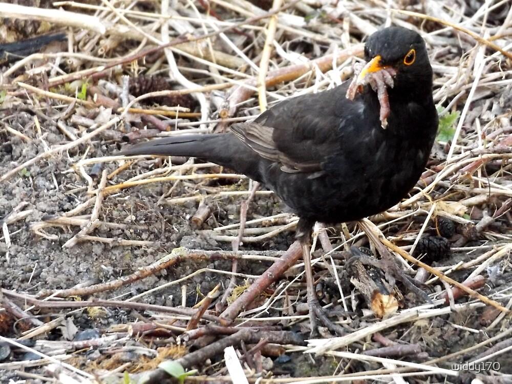 Blackbird gathering food  by widdy170