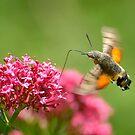 Hummingbird hawk-moth, Castiglioncello del Trinoro, Tuscany, Italy by Andrew Jones