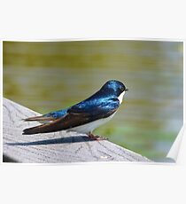 Terrance The Tree Swallow  Poster