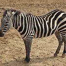 Zebra Stripes by Norma Jean Lipert