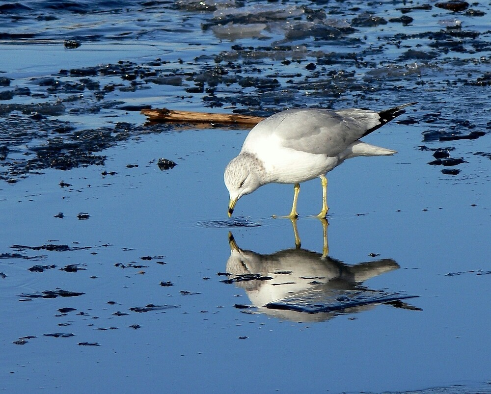 River Gull on Ice by LjMaxx