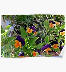 Flowers with orange and purple petals in pots. Poster