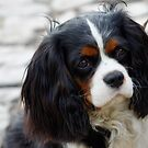 King Charles Cavalier Portrait by taiche