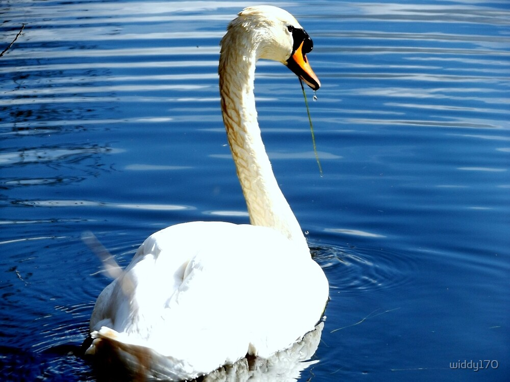 A swan looking for food  by widdy170