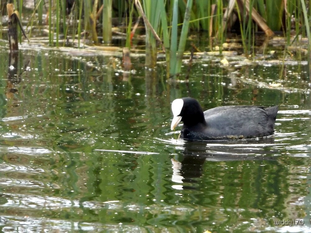 Little coot swimming around  by widdy170