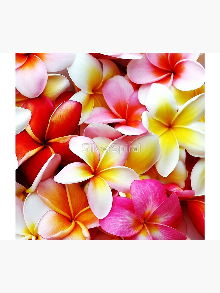 Plumeria Pink White Frangipani Tropical Hawaiian Flower Floral Fine Art by SilverSpiral