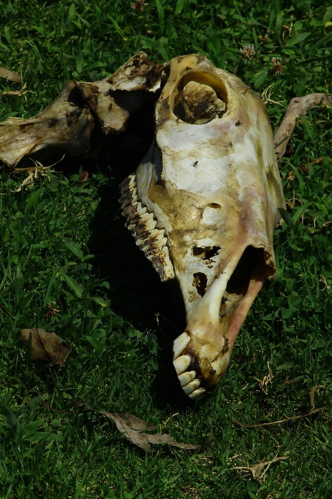 Horse Skull in a Pasture by rhamm
