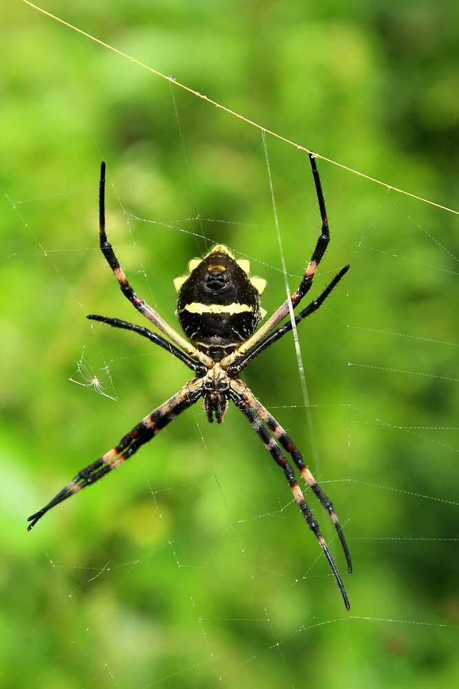 Orb Weaver Spider Suspended in a Web by rhamm