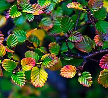All the Colours of Fagus by Odille Esmonde-Morgan
