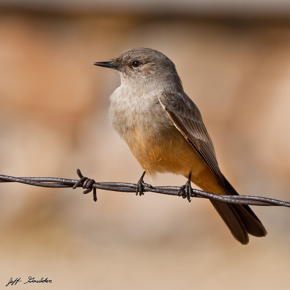 Say's Phoebe on a Barbed Wire by Jeff Goulden